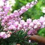 Вереск обыкновенный в ландшафтном дизайне садового участка