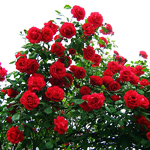 Плетистая роза Danse du Feu - жемчужина любого садового участка