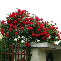 плетистая роза Танец Огня