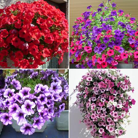 сурфиния цветы для балкона
