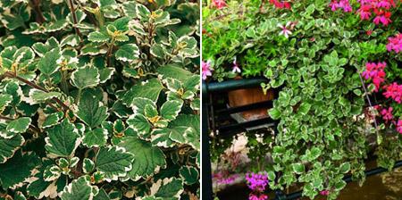 плектрантус колеусовидный вечнозеленое растение для балкона