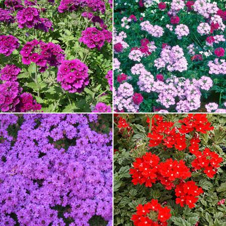 вербена красивые цветы для балкона