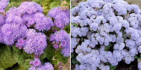 агератум Хоустона необычные цветы для балкона