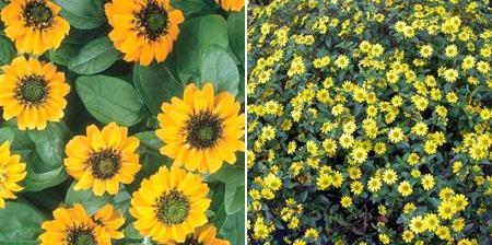 санвиталия лежачая желтые цветы для балкона