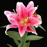 Селекция лилий: возможно ли
