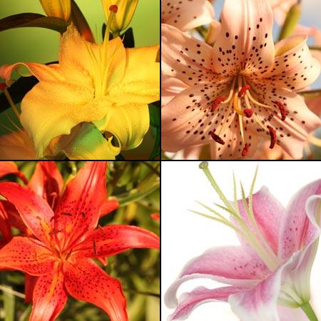 как скрестить лилии