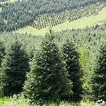 Как выращивают новогодние елки для продажи
