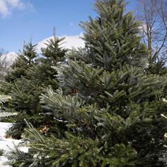 выращивание новогодних елок