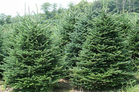 как выращивают елки
