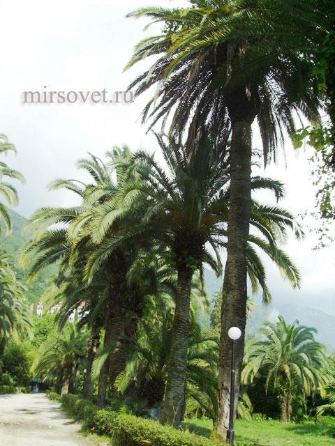 Абхазия пальмы