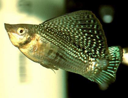 аквариумные рыбки моллинезия