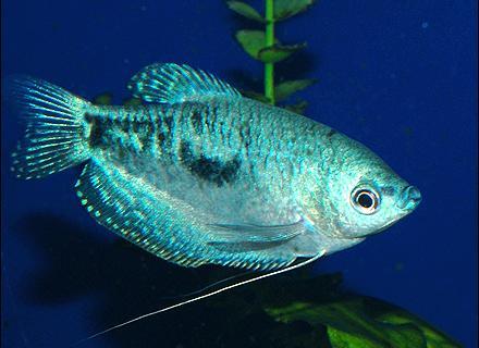 аквариумные рыбки гурами