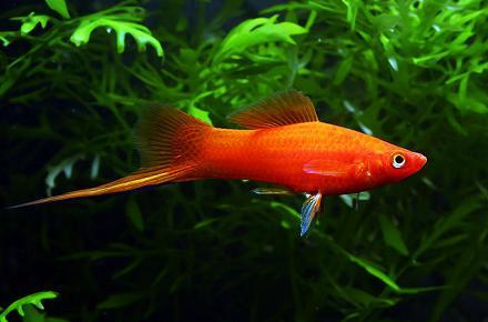аквариумные рыбки меченосец