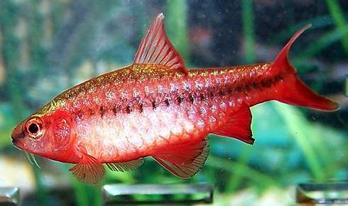 аквариумные рыбки вишневый барбус