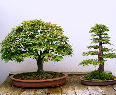 босай дерево