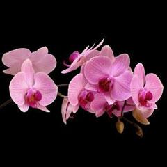 цветение домашней орхидеи