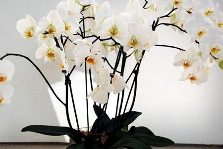 орхидея после цветения