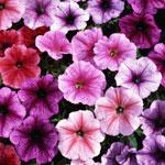Как правильно выращивать рассаду петунии