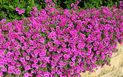 садовая петуния