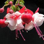 Как выращивать фуксию в саду
