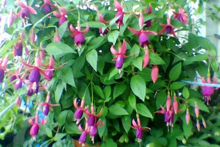 цветущая садовая фуксия