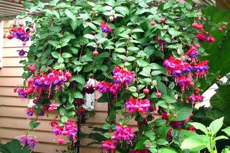 как ухаживать за фуксией в саду