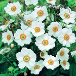 Анемона садовая: виды, условия выращивания, уход
