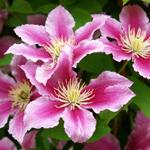 Клематисы: виды, условия выращивания, уход и применение цветов в дизайне