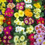 Примула садовая: виды, условия выращивания, правильный уход