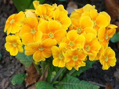 цветок примула