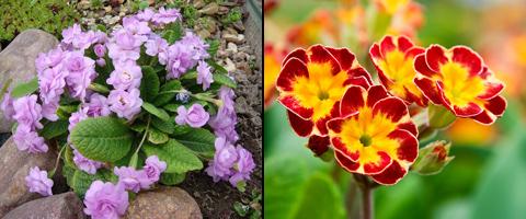выращивание садовой примулы