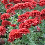 Садовые хризантемы: сорта, условия выращивания, уход