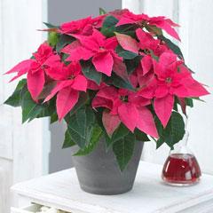 пуансеттия рождественская звезда