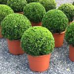 Самшит: секреты выращивания