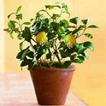 Какие экзотические фрукты можно вырастить в домашних условиях