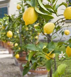вырастить лимон в домашних условиях